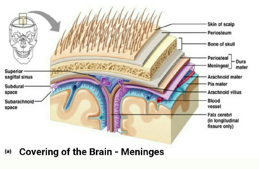 Anatomy covering of the Brain - Meninges. Anatomical protection ?